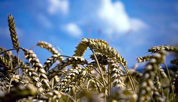 Засушливое лето скорректировало планы аграриев Новосибирской области на урожай